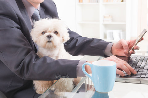 little white dog sitting on office worker's lap