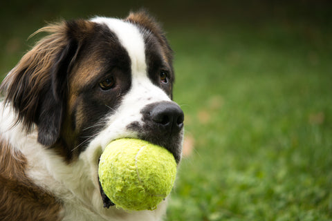 dog with a tennis ball in it's mouth