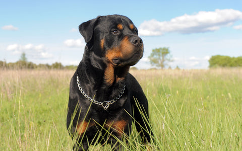 Rottweiler dog in a field