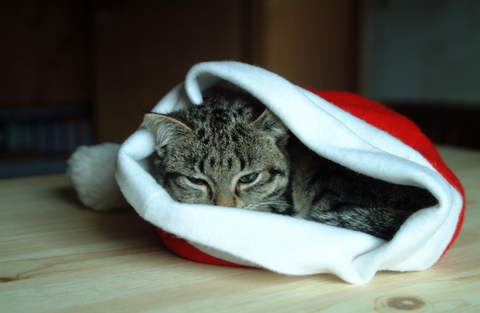 Cat curled up in a Christmas stocking
