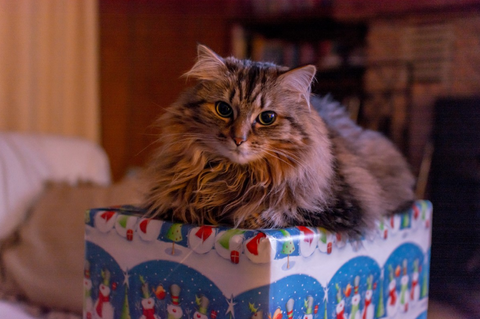 fluffy cat sitting on a present