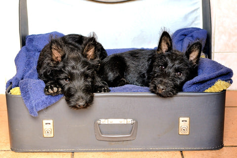 two black dogs sitting in a suitcase