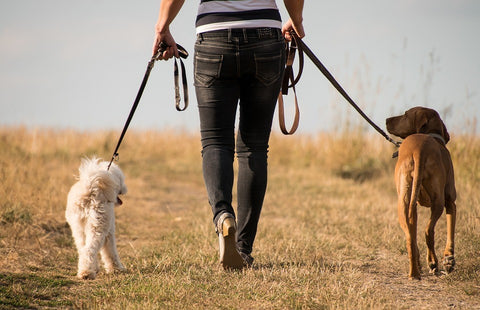 Two dogs on a walk in a field with owner