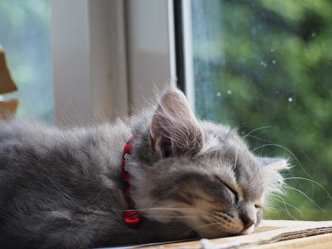 grey kitten sleeping by the window