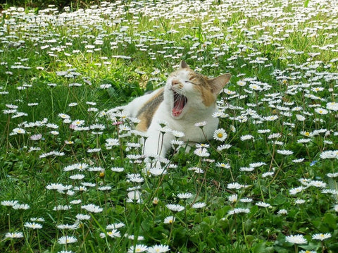 cat yawning in a field of daisys