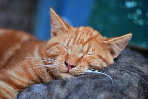 ginger cat asleep