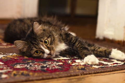 cat stretching out on a rug