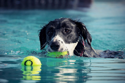 dog swimming in a pool with balls