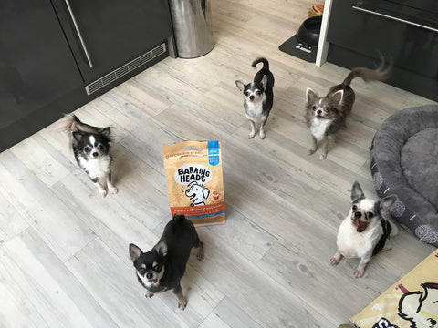five chihuahuas in a kitchen with a bag of barking heads