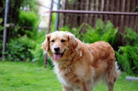 happy golden retriever in the garden