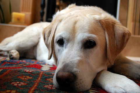 yellow Labrador lying on a rug