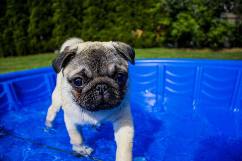 pug puppy in a paddling pool