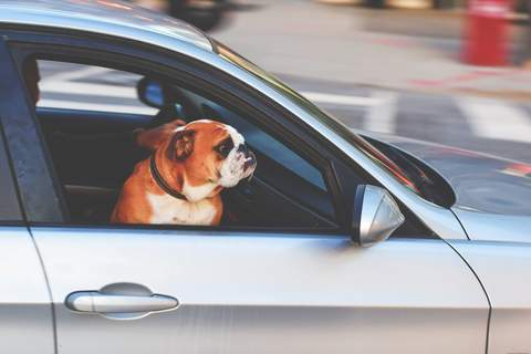 bulldog looking out a car window