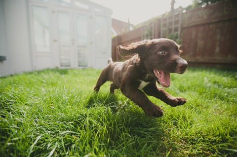 happy puppy running in the garden