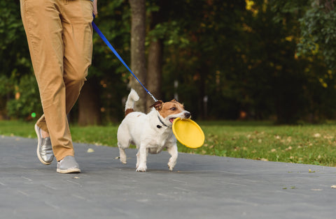 dog on a walk with a frisbee