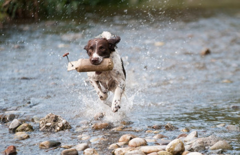 spaniel running through a river