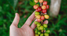 Colombia Finca La Maria Geisha Natural - #1 96 Points - Smoky Mountain Fresh Roast Coffee