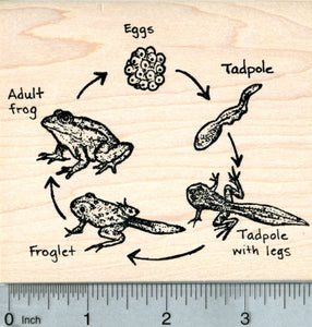 Frog Life Cycle Rubber Stamp, Biology Science Series
