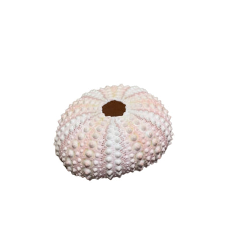 Shell Sea Urchin