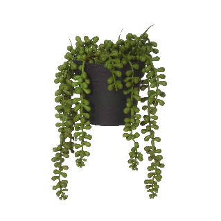String of Pearls in Pot