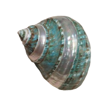 Shell Turbo Banded 10cm