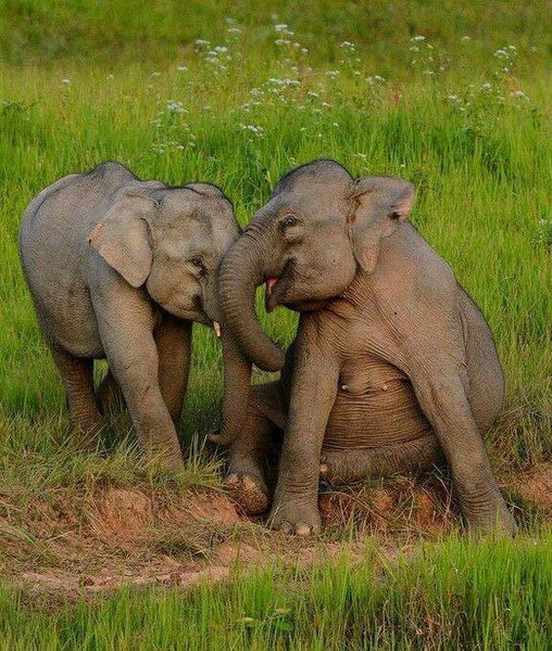 laughing elephants, lying on the grass. Very cute picture of elephants