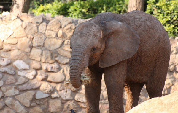 cutest baby elephant having a bit to eat while posing