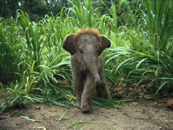 baby ginger elephant with a full head of hair