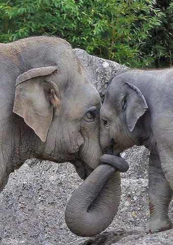 elephants in love holding trunk. Mother and baby elephant bonding