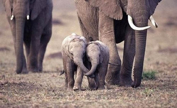 baby elephants holding trunks. cutest baby elephant picture ever