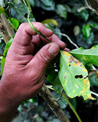 Coffee Pests? Fungi? Oh My!  (Or Why Shade Grown Coffee Prevents These Terrors and Others)