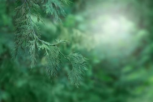 Pine - Black Essential Oil