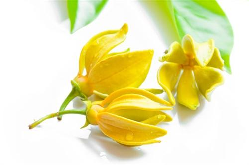 Ylang Ylang Dark Essential Oil
