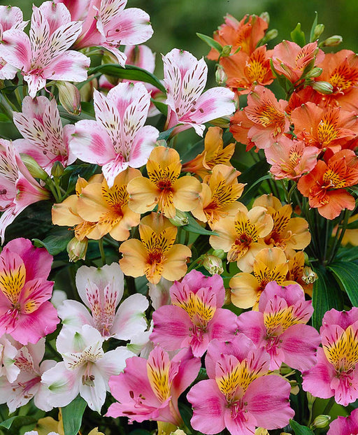 Alstroemeria Mixed  Flower Bulbs (10 Bulbs)