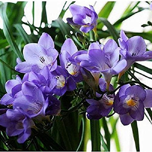 Freesia Flower Bulbs Fragrant flowers Grown , Great Cut Flower (set of 10) Purple