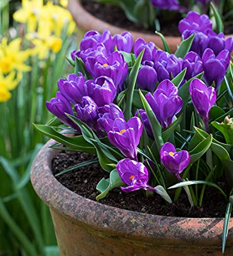 Crocus Record (4 Bulbs) Flower Bulbs | Gardening flower bulbs For Home garden, Programmed Bulb By Kriti Kalash