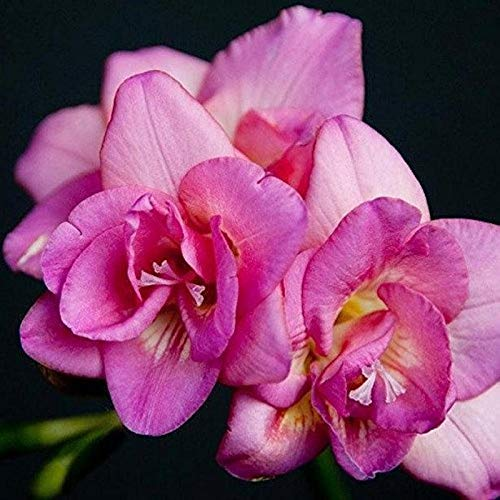 Freesia Flower Bulbs Fragrant flowers Grown (Pack of 100) Mix