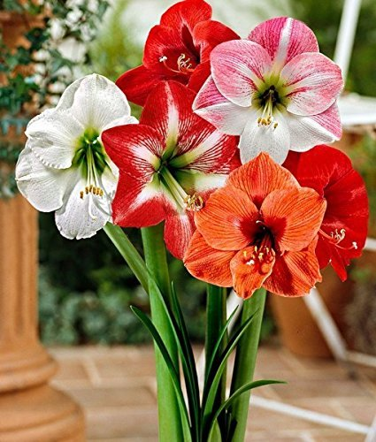 Amaryllis Lily Superb Flowers in Your Garden - Double Variety ( Pack of 100)