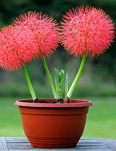 Football Lily (Set of 4) Red Superb Flowers in Your Garden