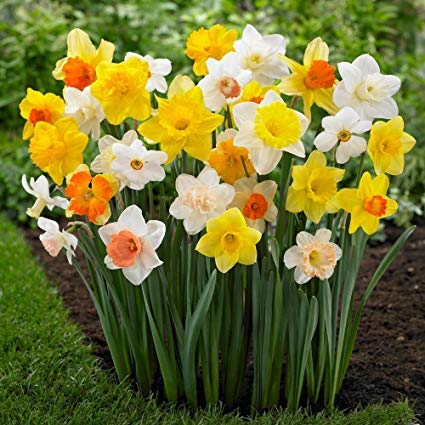 Daffodil Poeticus Flower Bulbs, Common Name Nargis Or Narcissus Flower Light Fragrance (6 Bulbs)