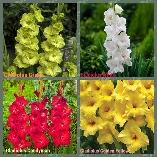 Gladiolus Flower Bulbs (Pack of 100) Mix