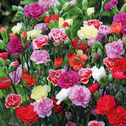 CARNATION Flower Seeds Pack with 100 Gm Agropeat