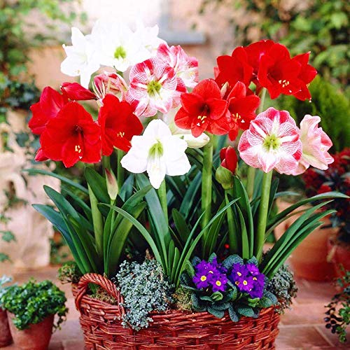 Amaryllis Lily Superb Flowers in Your Garden  (Set of 4)
