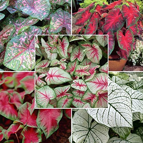 Caladium Flowers Beautiful and lance-leaf like a Elephant Ear (Bulbs) (Set of 10) Mix