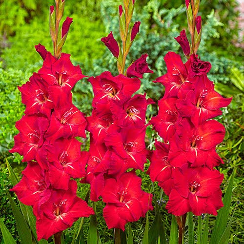 Gladiolus ( Candyman Gladiolus) American Beauty Flower Bulbs (set of 4) Red