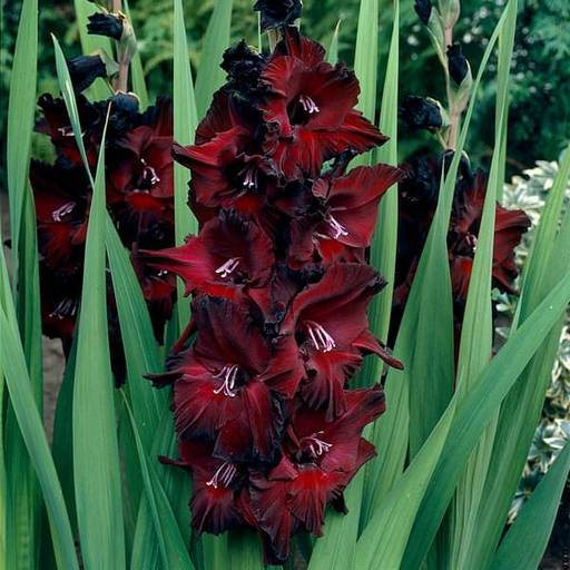 Gladiolus (Red Ginger, Blood Red) - Bulbs (set of 10)