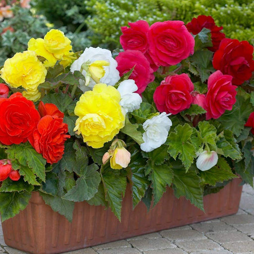 Begonia Flowers One of The Most Exotic Beautiful Flowers (Pack of 4) Mix