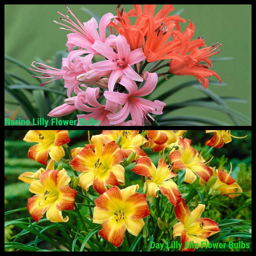 Day Lily and Narine Lily Flower Sowing Pack Bloom Time Summers 2020 Pack 2 Varieties (20 Bulbs)