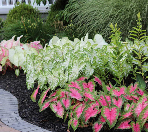 Caladium Flowers Beautiful and lance-leaf like a Elephant Ear (Bulbs) (Set of 4) Mix