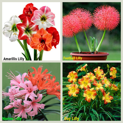 Summer Lily Flowers Sowing Pack Bloom Time Summers 2021 – 4 Varieties (40 Bulbs) 10 Flower Bulb each